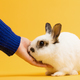 Hand petting white rabbit on yellow background. - PhotoDune Item for Sale