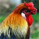 Chicken Cluck