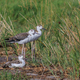 juvenile black-winged stilt (Himantopus himantopus) - PhotoDune Item for Sale