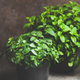 Fresh mint growing in pots over concrete table at home - PhotoDune Item for Sale