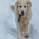 Retriever in winter forest - PhotoDune Item for Sale