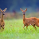 Roe-deers in a clearing  - PhotoDune Item for Sale