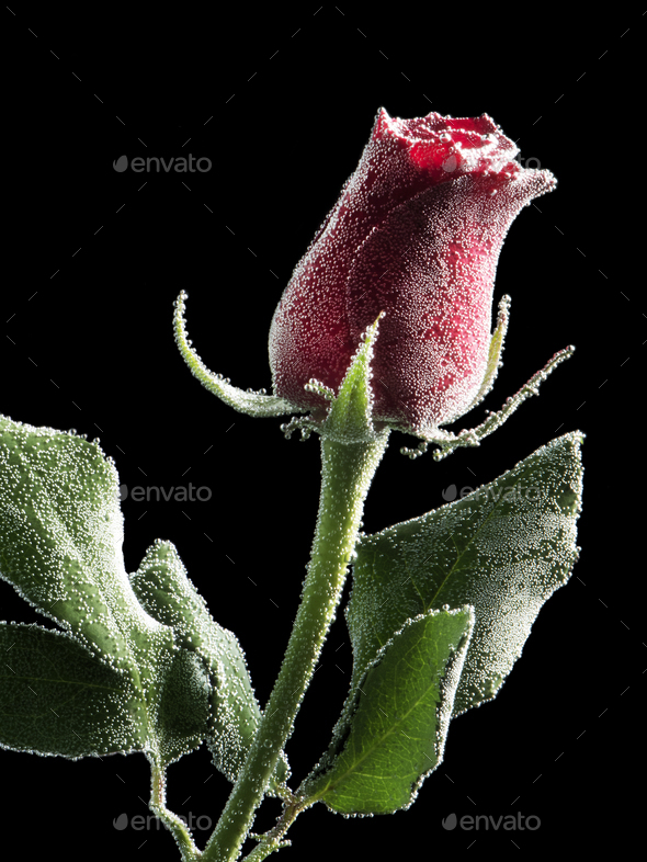Red rose under water - Stock Photo - Images