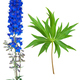 Medicinal plant: Delphinium - PhotoDune Item for Sale