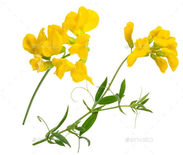 Medicinal plant: Lathyrus pratansis - Stock Photo - Images