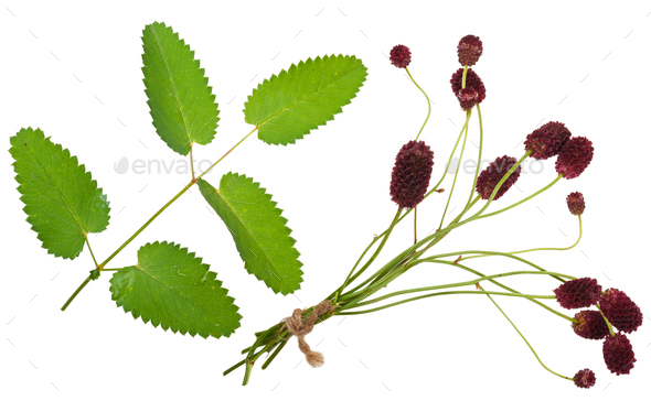 Medicinal plant: Burnet (Sanguisorba officinalis) - Stock Photo - Images