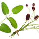 Medicinal plant: Burnet (Sanguisorba officinalis) - PhotoDune Item for Sale