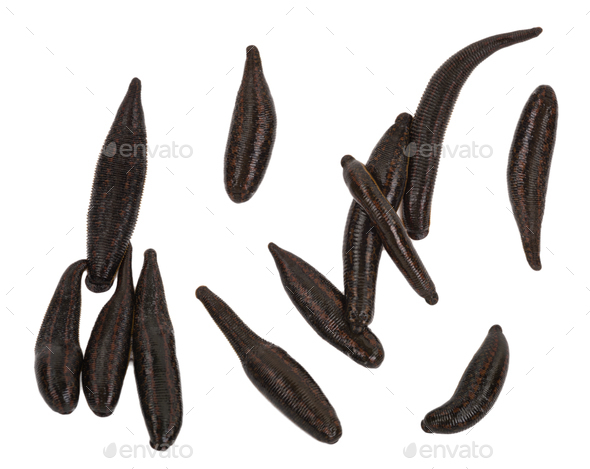 Medical leech - Stock Photo - Images