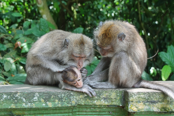 Balinese monkey with her baby - Stock Photo - Images