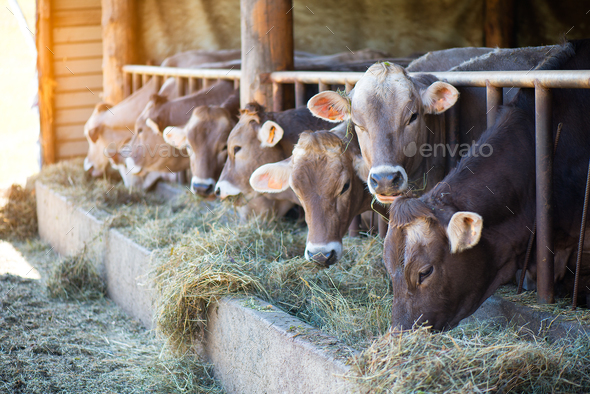 Cows on Farm race Alpine Brown eating hay in the stable - Stock Photo - Images