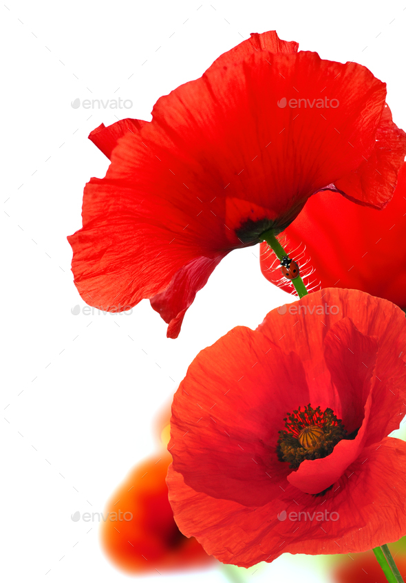 Red Poppy Flowers Over White Floral Background