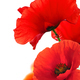 Red Poppy Flowers Over White. Floral Background. - PhotoDune Item for Sale
