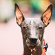 Mexican Hairless Dog Close Up Portrait. Xoloitzcuintli Or Xolo F - PhotoDune Item for Sale