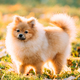 Young Red Puppy Pomeranian Spitz Puppy Dog Posing Outdoor In Aut - PhotoDune Item for Sale
