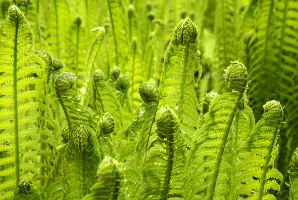 Beautiful young green fern grows in a forest in early spring - Stock Photo - Images