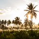 Sunset on coconut and sugar canne plantation near Achada Fazenda - PhotoDune Item for Sale
