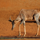 Tsessebe antelope at a waterhole - PhotoDune Item for Sale