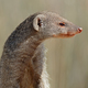 Banded mongoose portrait - PhotoDune Item for Sale