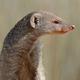 Banded mongoose portrait - PhotoDune Item for Sale