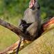 Male chacma baboon yawning - PhotoDune Item for Sale