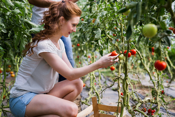 Two people collect pick up the harvest of tomato in greenhouse - Stock Photo - Images