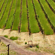 Vineyards in California, USA - PhotoDune Item for Sale