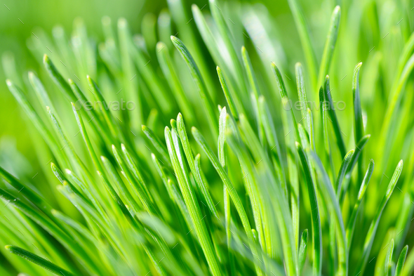 Green needles of pine tree close up - Stock Photo - Images