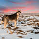 husky dog on sunset - PhotoDune Item for Sale