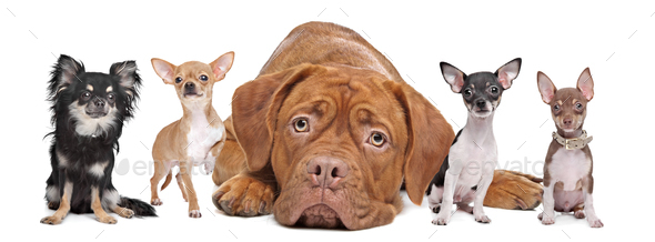 four chihuahua dogs and a Dogue de Bordeaux - Stock Photo - Images