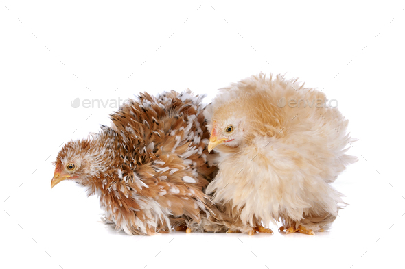 Two chickens - Stock Photo - Images