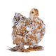 Colourful Chicken - PhotoDune Item for Sale