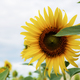 Sunflower with beautiful at sky - PhotoDune Item for Sale