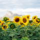 Sunflower with beautiful on hill - PhotoDune Item for Sale