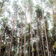 Pine tree at sky - PhotoDune Item for Sale
