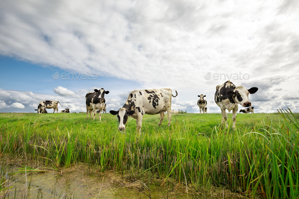cows on green pasture over blue sky - Stock Photo - Images