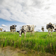 cows on green pasture over blue sky - PhotoDune Item for Sale