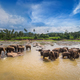 Big Asian elephants. Nature of Sri Lanka - PhotoDune Item for Sale