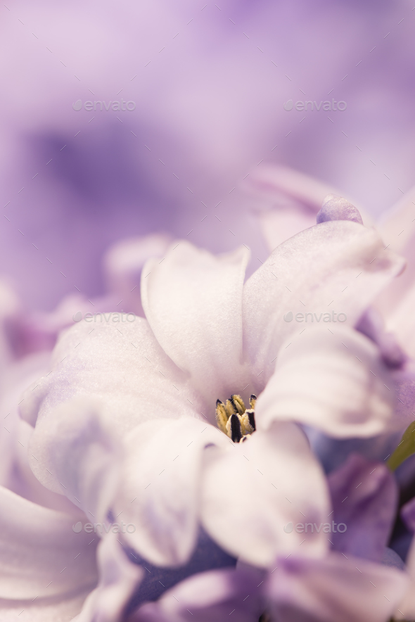 Hyacinthus flowers close up, - Stock Photo - Images
