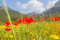 Poppy - PhotoDune Item for Sale