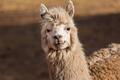 Llama - PhotoDune Item for Sale