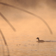 juvenile great crested grebe in sunrise - PhotoDune Item for Sale