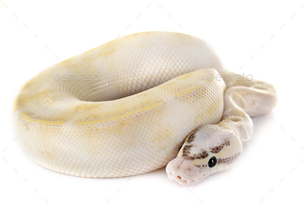 royal python in studio - Stock Photo - Images