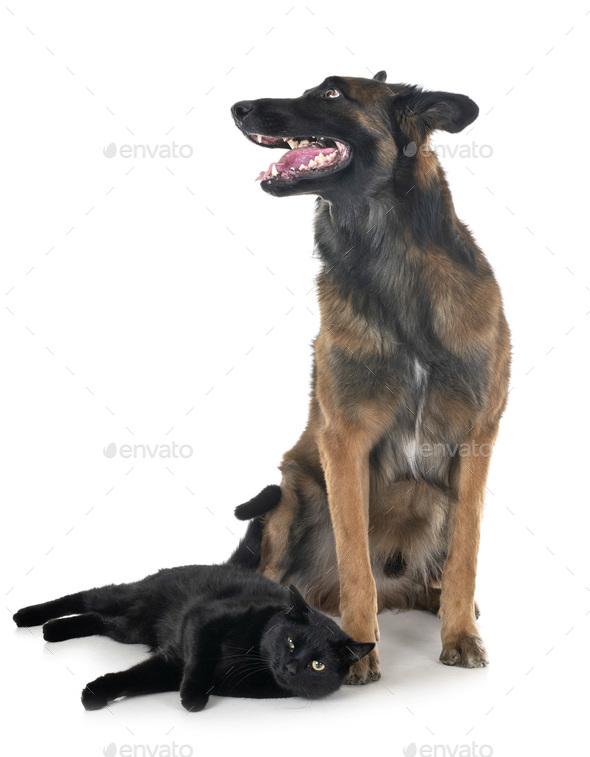 belgian shepherd and cat - Stock Photo - Images