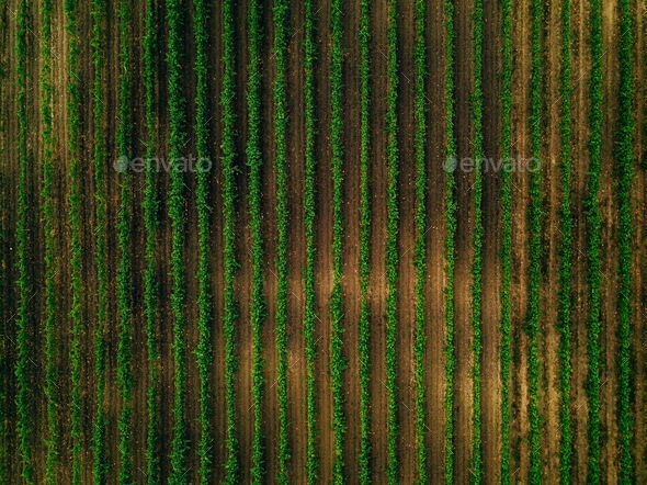 Aerial view over vineyard fields in Italy  Rows of grape vines