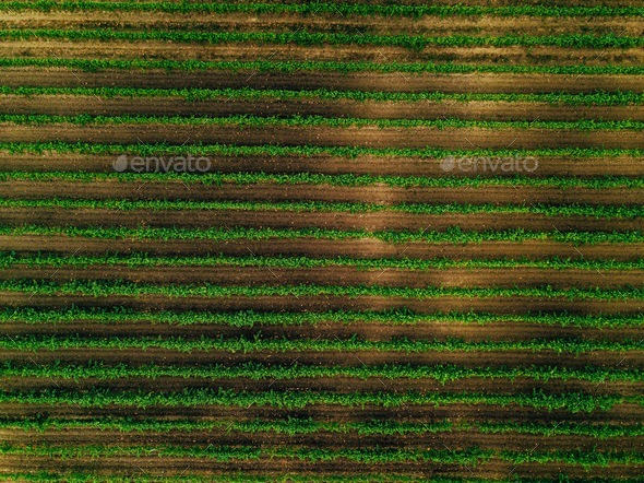 Aerial view over vineyard fields in Italy. Rows of grape vines - Stock Photo - Images