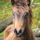 A small colt of the wild horse native to the Galician mountains - PhotoDune Item for Sale