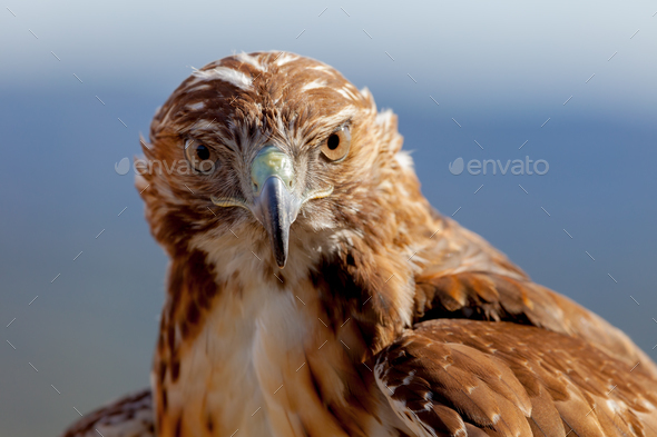 Eagle of red tail (Buteo jamaicensis) - Stock Photo - Images