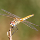 Dragonfly ( sympetrum sp ) - PhotoDune Item for Sale