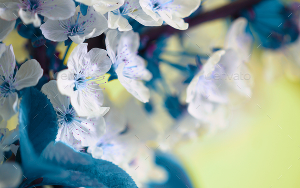 Blossoming spring cherry branch close-up. Bluring soft focus nature background. - Stock Photo - Images