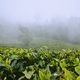 Tea plantations in clouds - PhotoDune Item for Sale